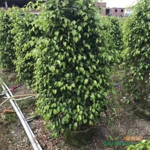 垂叶榕柱场地批发   高度1米5