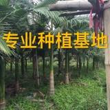 高5米假槟榔树
