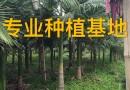 35厘米绿樱红三角梅小苗