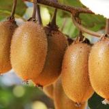 黄金果猕猴桃树苗