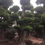 小叶榕桩景批发 米径40