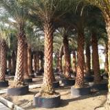 福建大量供应各种规格中东海枣