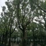 福建香樟5米