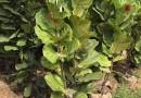 琴叶榕批发  高度1米3以上 价格80元