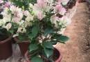 福建櫻花三角梅苗,綠葉櫻花三角梅,批發價格