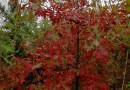 美国红橡树:娜塔栎:舒玛栎:沼生栎
