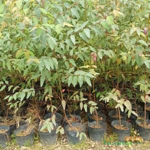 福建基地桉树批发 高度1米5