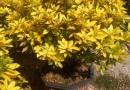 蒲葵 扇叶葵、葵树、华南蒲葵 蒲葵价格(杆高2米5 )