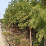 4公分池杉