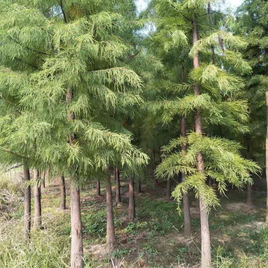 10公分池杉多少钱 江苏池杉价格