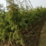3公分池杉
