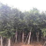 10公分优质小叶榕