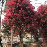供应1.8米高四季红三角梅