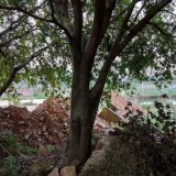 特价出售两棵30余年大榕树