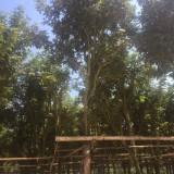 少花 、多花、黄花风铃木(米径8公分)基地直销