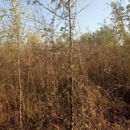 3公分皂角树