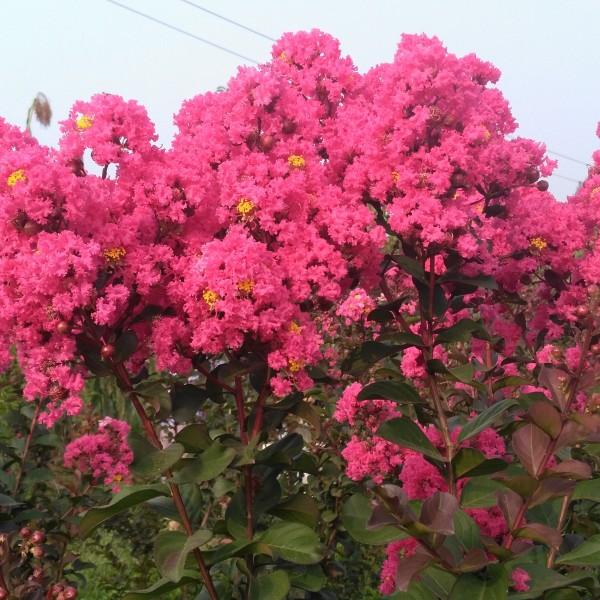 郑州裕林彩色苗圃供天鹅绒紫薇