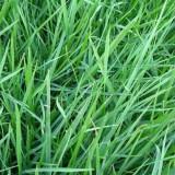 边坡绿化草种子销售-狗牙根