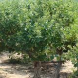 树型金银花-金花3号  1-3年苗