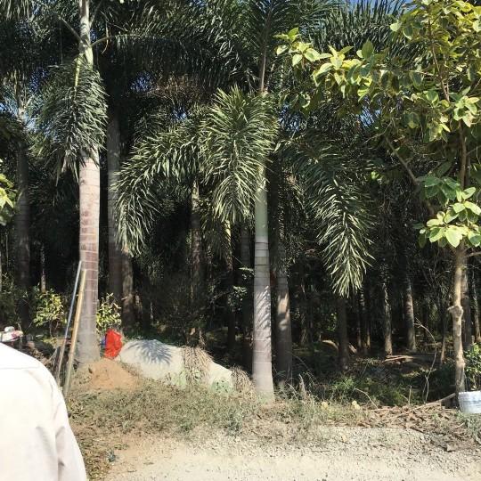 福建狐尾椰子4米高價格