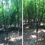 丛生榆叶梅2公分