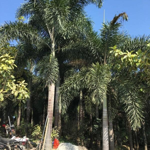 福建狐尾椰子5米高