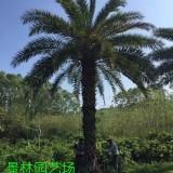 2米高中东海枣