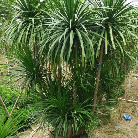 龙血树,大型观叶盆栽,耐摆绿植