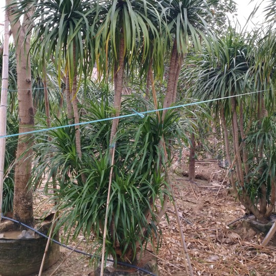 龙血树 大形观叶盆栽 耐摆绿植