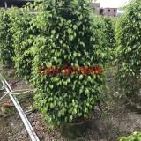 垂叶榕1.5米高