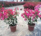 三角梅盆栽  三角梅盆苗  三角梅苗