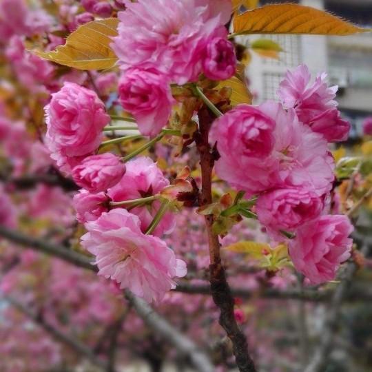 供应日本晚樱樱花大树,晚樱价格