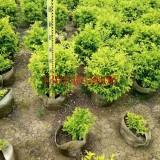 黄金叶/云南黄素馨地被苗30公分高