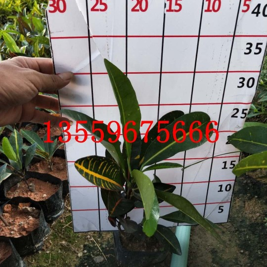 30厘米高彩霞变叶木