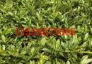 30公分高变叶木小苗