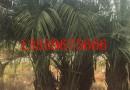 3米高布迪椰子