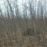清理大处理金叶复叶槭2-6公分8万余棵特价出售