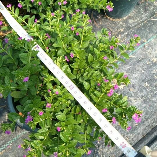 高度25-30盆苗滿天星 孔雀梅 紫茄花
