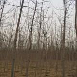 清地大处理青叶复叶槭2-6公分大量特价出售