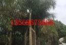 基地直销大王椰子 王棕树 巴拿马大王椰子