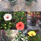 高度30-40各种花色朱槿 扶桑花