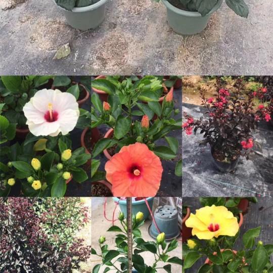 高度30-40各種花色朱槿 扶桑花
