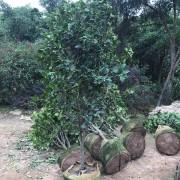 2米高优质茶花