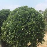 1.5米高非洲茉莉