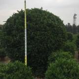 3米高精品非洲茉莉