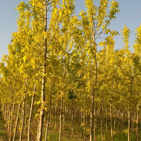 郑州裕林彩叶苗圃供10公分金叶复叶槭