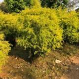 1米高精品黄金宝树