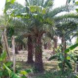 2.5米高精品中东海枣
