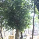 5米高精品小叶榕