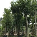 优质腊肠树2米高